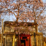 blossom on a Chinese Parasol Tree